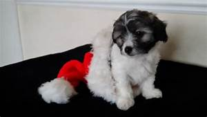Chihuahua / Poodle mix puppy (Chi-Poo or Poo-Chi ...