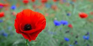 Poppy Flower — Symbolism of Red Poppies