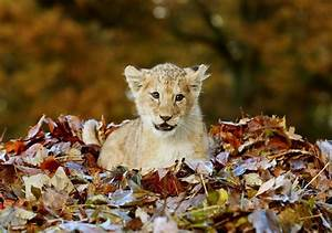 baby animals cute animals lion cub playing in leaves ...