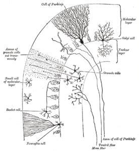 cerebellum wikipedia
