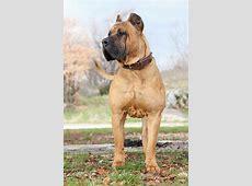 Presa Canario Dog Breed » Everything About Presa Canario