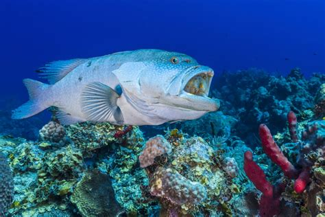 grouper mouth inside walmart wrasse cleans jennifer poster posters