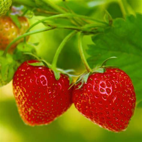 strawberry seeds strawberry tresca seeds fragaria ananassa garden seeds market free shipping