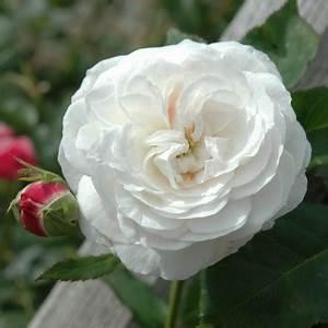 Boule De Rose : boule de neige shrub rose roses peter beales roses the world leaders in shrub climbing ~ Teatrodelosmanantiales.com Idées de Décoration