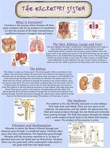 The Excretory System  Anatomy  En  Excetory  Human  Kidney