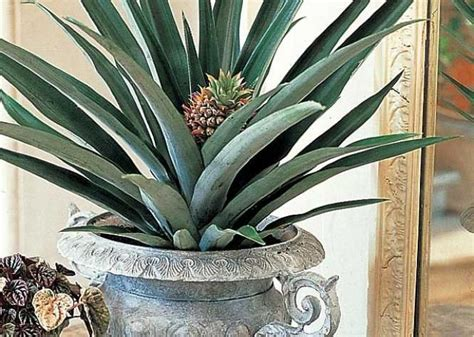 plante d intérieur originale la bouture de l ananas d interieur and articles