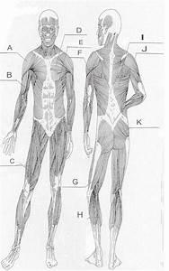 Blank Muscle Diagram Worksheet Print F In 2020