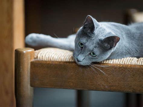 cat breeds    hypoallergenic