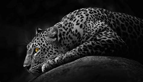 Jaguar Backgrounds by Black Jaguar Animal Hd Wallpapers Jaguar Leopard