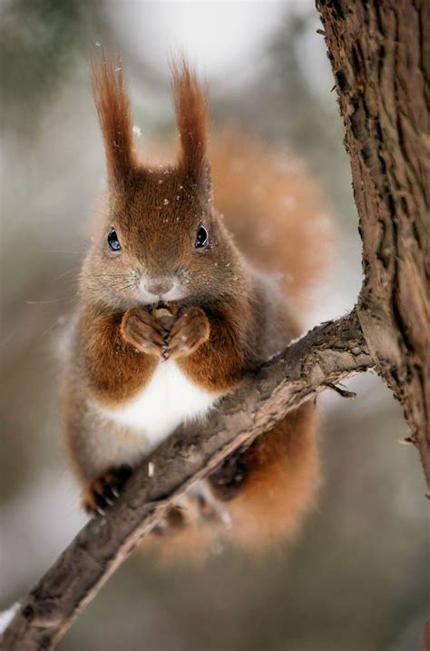 17 best ideas about chipmunks on pinterest animal