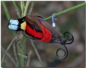 Wilson's Bird-of-Paradise – Focusing on Wildlife