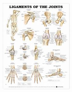 Ligaments Of The Joints Anatomical Chart
