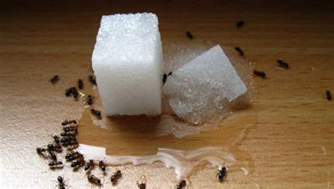 13 natural remedies for the ant invasion mnn mother