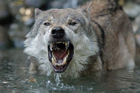 Angry Wolf Wallpaper Hd 1080p wolf angry hd wallpaper