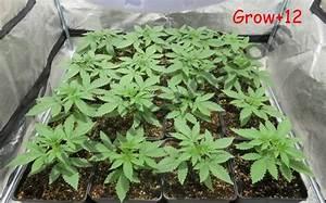 Pied De Beuh : growing regular cannabis seeds indoors alchimia blog ~ Medecine-chirurgie-esthetiques.com Avis de Voitures