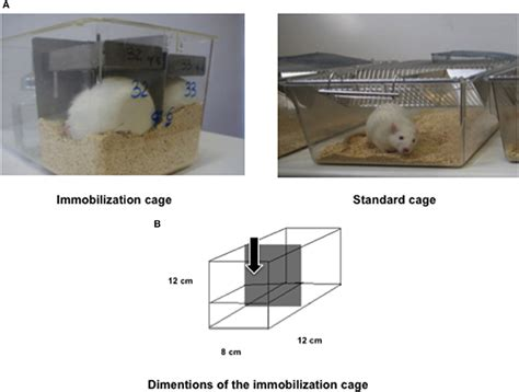 frontiers  rat immobilization model based  cage
