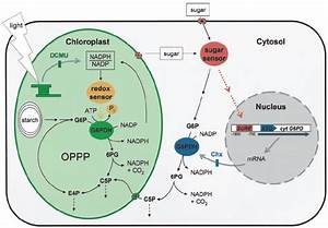 Model Of G6pdh Regulation In The Cytosol And In