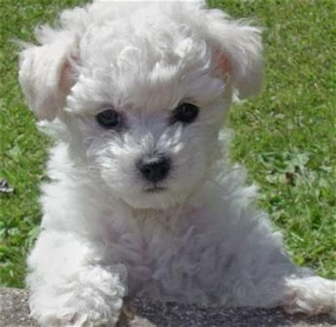 hypoallergenic dogs do not shed dogs that don t shed hypoallergenic dogs top 10 dogs