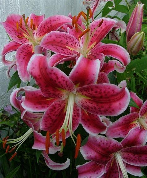 lily stargazer oriental lilies hardy lilies flower