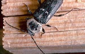Insecte De Maison : traitement charpente et bois contre capricorne vrillette ~ Melissatoandfro.com Idées de Décoration