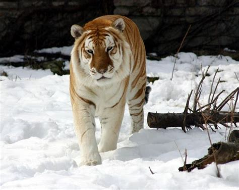The Jungle Store Rare Golden Tiger