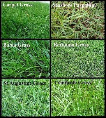 buy lawn grass  nanjil nursery india id