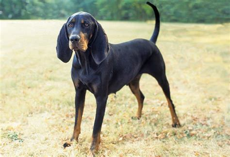 black and coonhound breed information