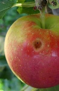 Backyard  Apple Maladies At Harvest  U2013 Ipm Pest Advisories
