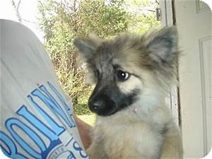 Cajun | Adopted Puppy | Old Bridge, NJ | Pomeranian ...