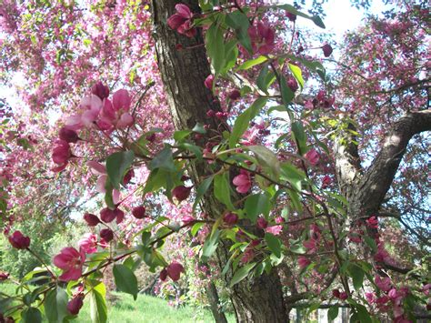 Free Images : spring bloom pink flowers nature park