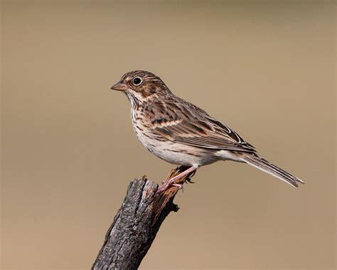 what is a top vesper sparrow