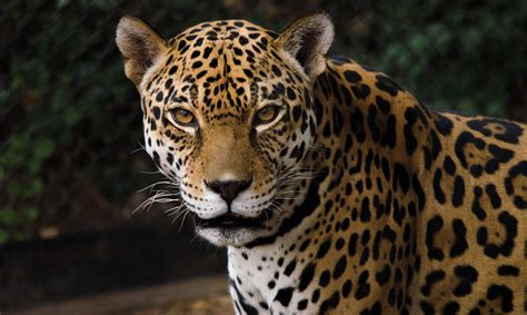 Jaguar Photo by Building A Future For The Jaguar Asu Now Access