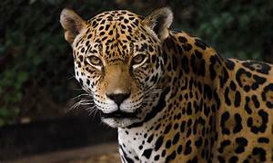 Building a future for the jaguar | ASU Now: Access ...  Jaguar