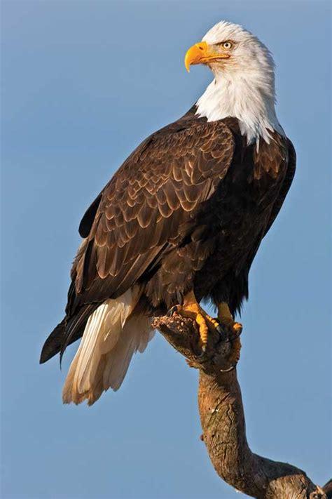Bald Eagle Images Bald Eagles And Golden Eagles Animals Grit Magazine