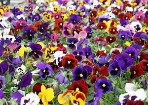 Spring Pansies – Fairless Hills Garden Center