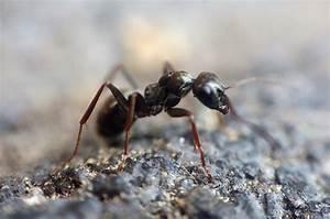 Ameisen Mit Flügel : ameisen bek mpfen welche mittel gegen ameisen helfen ~ Buech-reservation.com Haus und Dekorationen