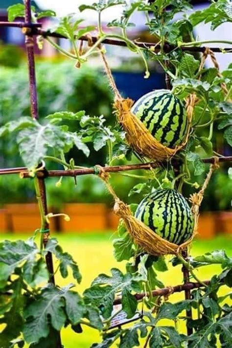 images  melons squashes  pinterest squash plant winter melon  vines