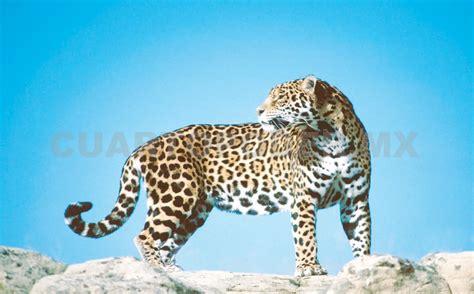 Población Estable De Jaguares En La Selva