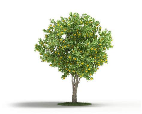 mature naval orange tree cgtrader