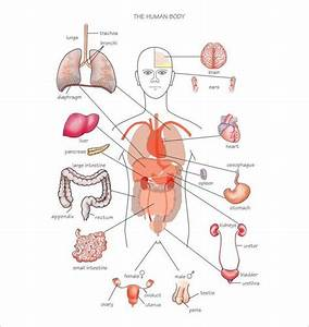 Body Organs Diagram
