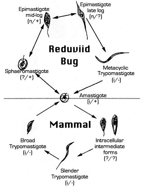 Figure 1 from The life cycle of Trypanosoma cruzi