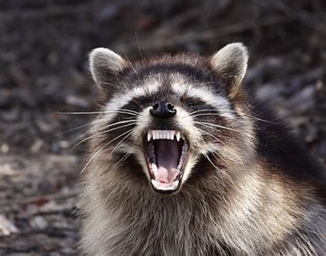 best raccoon repellents and electronic repellers