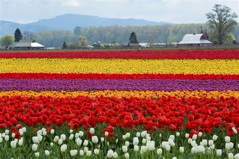 tulips festival in usa 20 beautiful festivals all over the world you like to take part