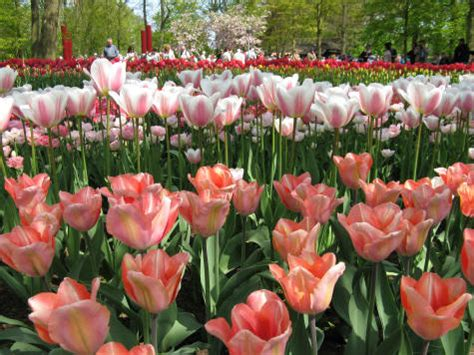 purchase tulip bulbs from keukenhof gardens in