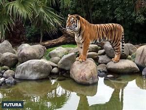 fond d39ecran tigre du bengale With plan de maison original 14 fond decran lion blanc