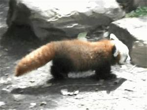 Red Panda Baby GIF - Find & Share on GIPHY