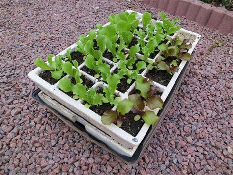 comment 234 tre autonome en salades toute l 233 e potagerdurable