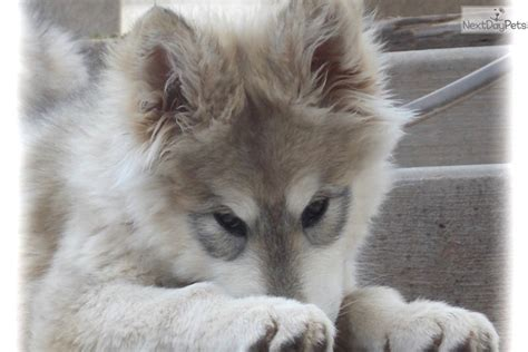 giant wolf hybrid puppy  sale  tampa bay area