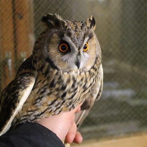 Pin by Kārlis Sīlis on Ausainā pūce   Owl, Animals, Bird
