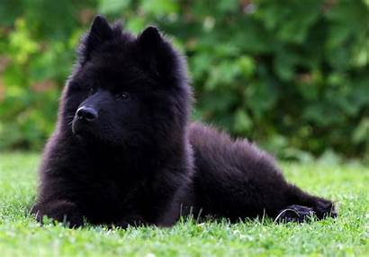 Eurasier Dog Puppy Breed Dogs Breeds Types